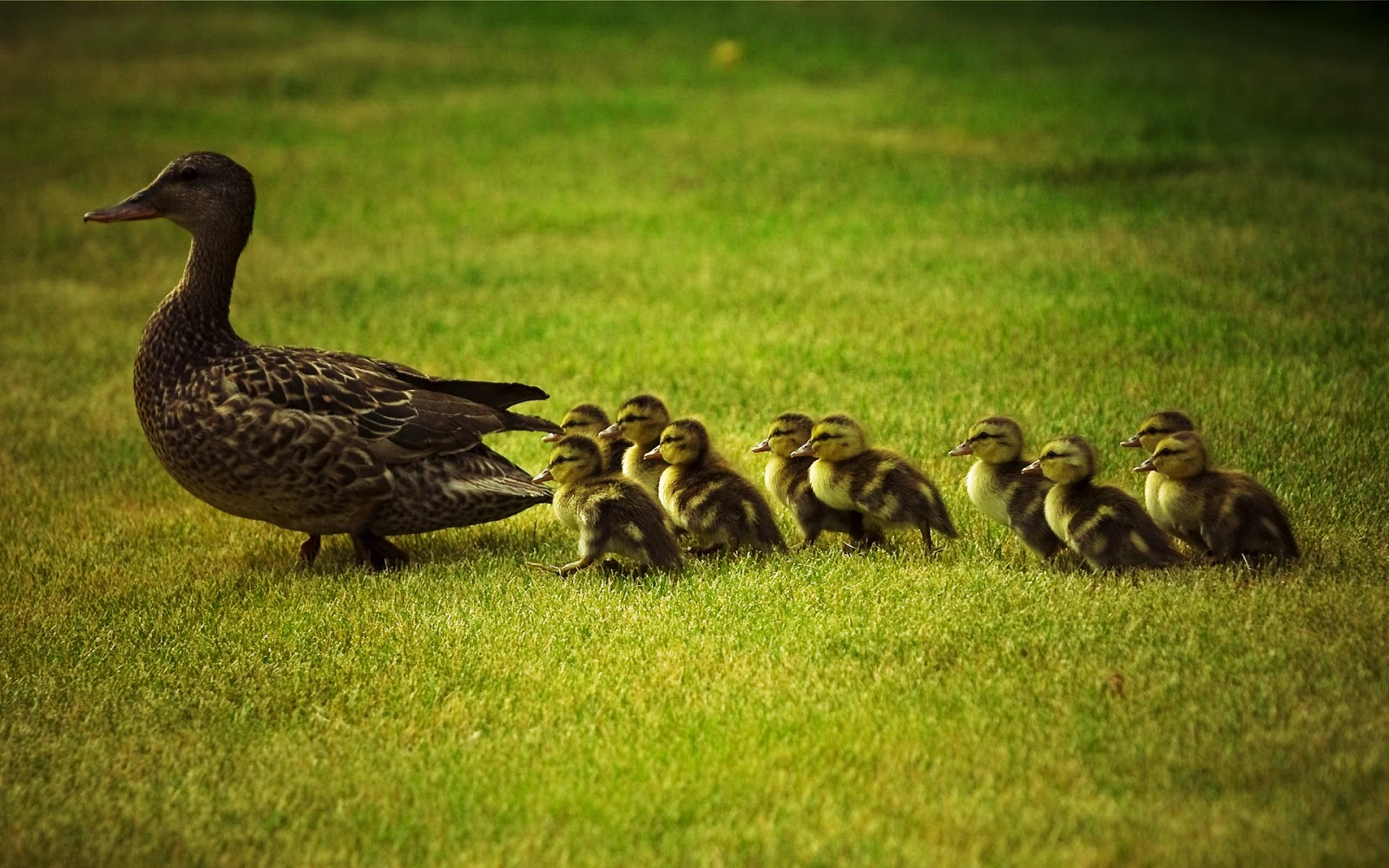 http://2.bp.blogspot.com/-p0K65Z3AU-A/TrAfqVqVNwI/AAAAAAAAEJo/H0kfaXZwLyE/s1600/Mother_Duck_And_Little_Ducks_Wallpaper%252BVvallpaper.Net.jpg