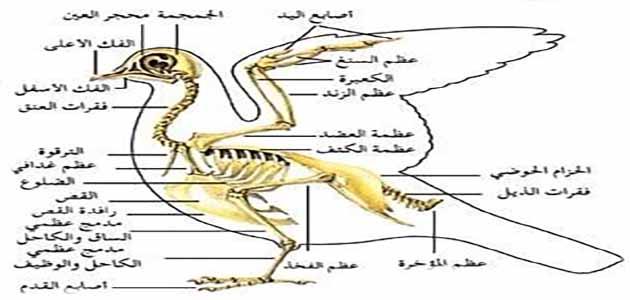 تعرف علي الهيكل العظمي للحمام بالتفصيل