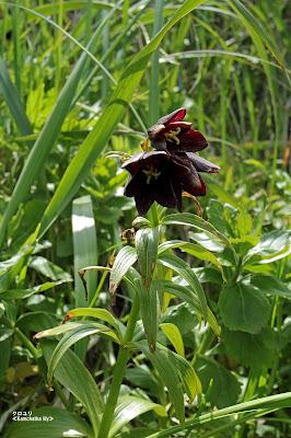 クロユリ ≪Kamchatka lily≫