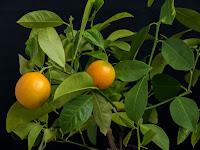 Canton lemon