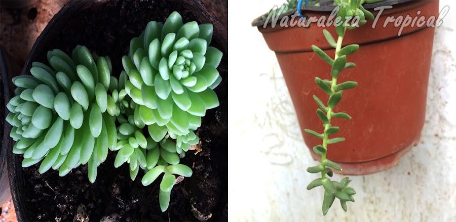 Comparación de planta suculenta no etiolada y etiolada (es la misma planta)