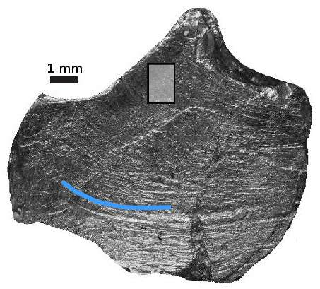 Mammal-like mastication for the dinosaur Leptoceratops