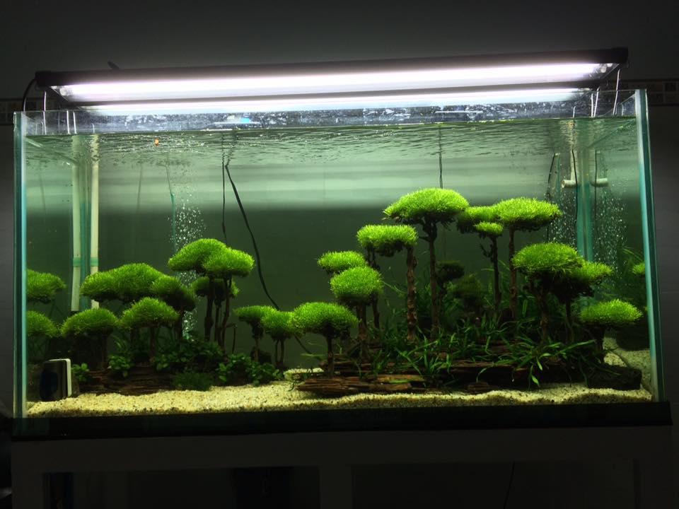 Rêu Ricca trong hồ thủy sinh của bạn Ông Trẻ