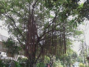Jenis-jenis akar yaitu Akar gantung