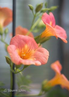 Eine ungewöhnliche Farbe und eine Fülle an Blüten zeigt Campsis radicans, die Klettertrompete