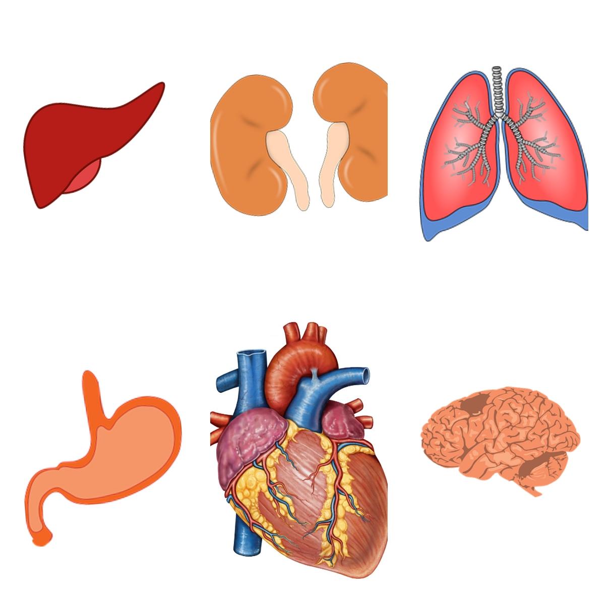 Atractivo Imágenes Del Cuerpo Humano órganos Internos Motivo ...