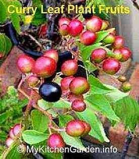 Curry Leaf  Plant Seeds, Berries Fruits