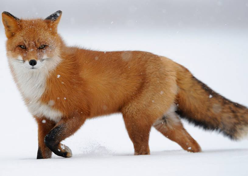 Animals That Start With F - Fox