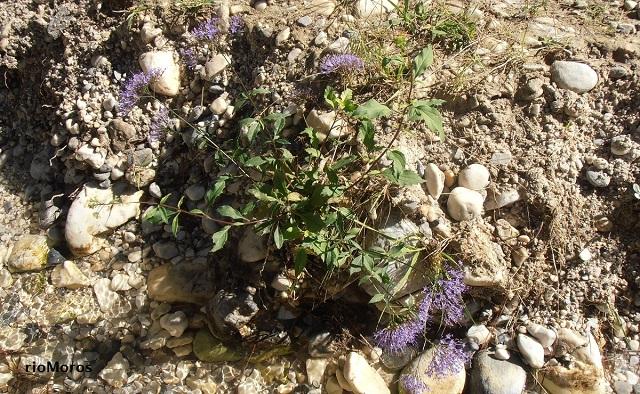 Flor de viuda silvestre Trachelium caeruleum