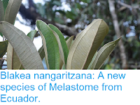 http://sciencythoughts.blogspot.co.uk/2016/11/blakea-nangaritzana-new-species-of.html