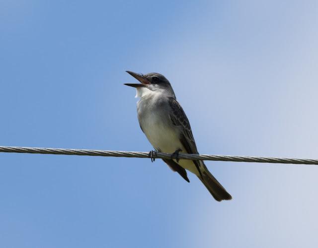Gray Kingbird - Josie Billie Highway, Florida