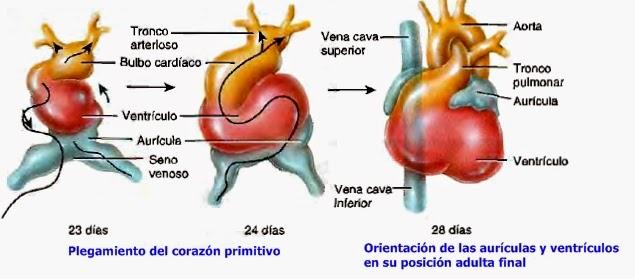 Formación y desarrollo del corazón