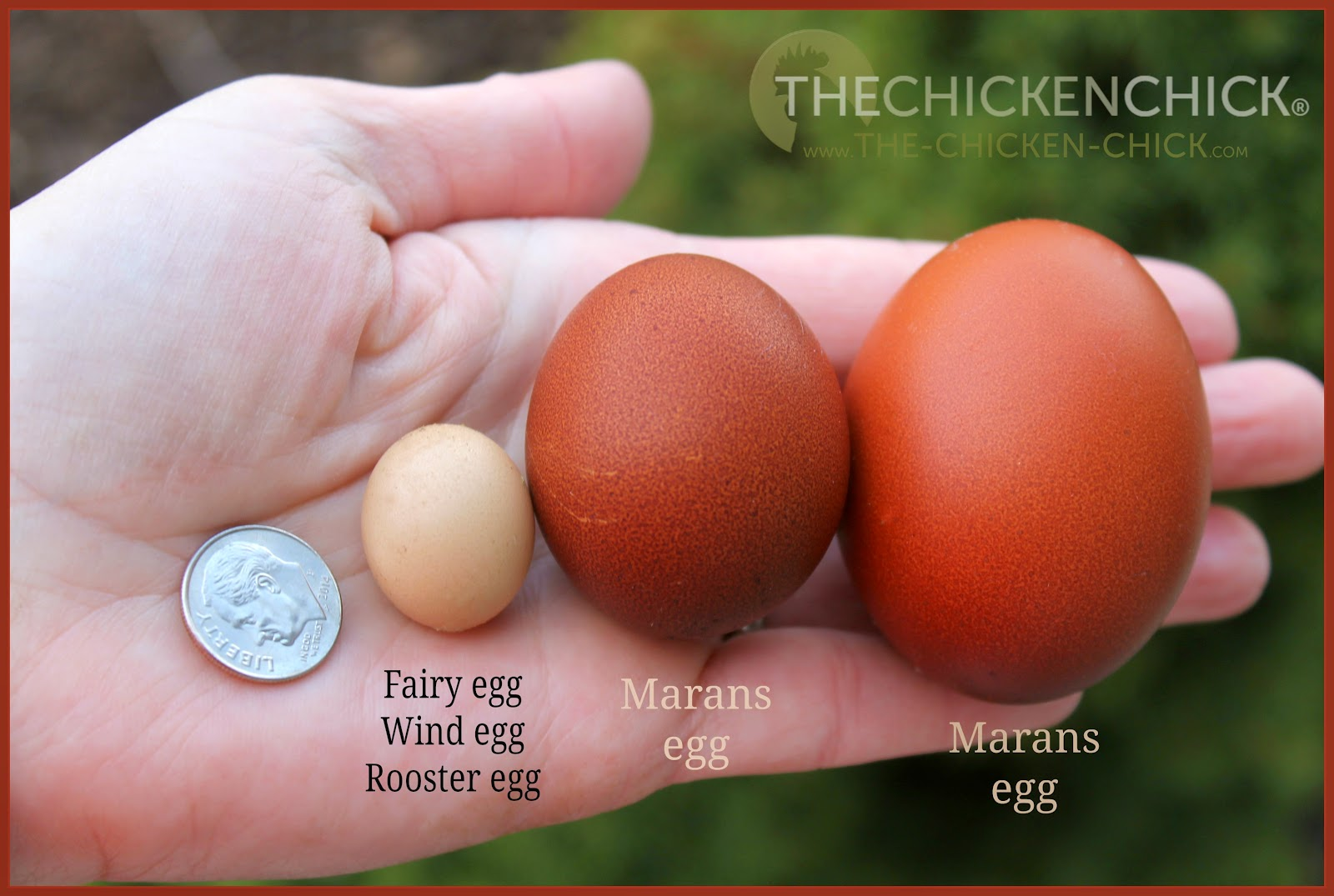 Wind egg, fairy egg, rooster egg, dwarf egg- learn how they occur here!
