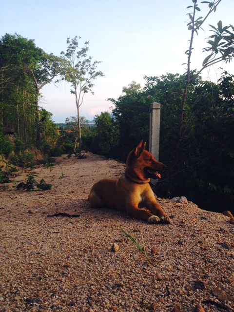 Soi dog, Thailand