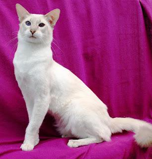 gambar kucing Javanese