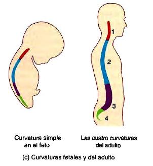 Columna vertebral curvatura adulto feto