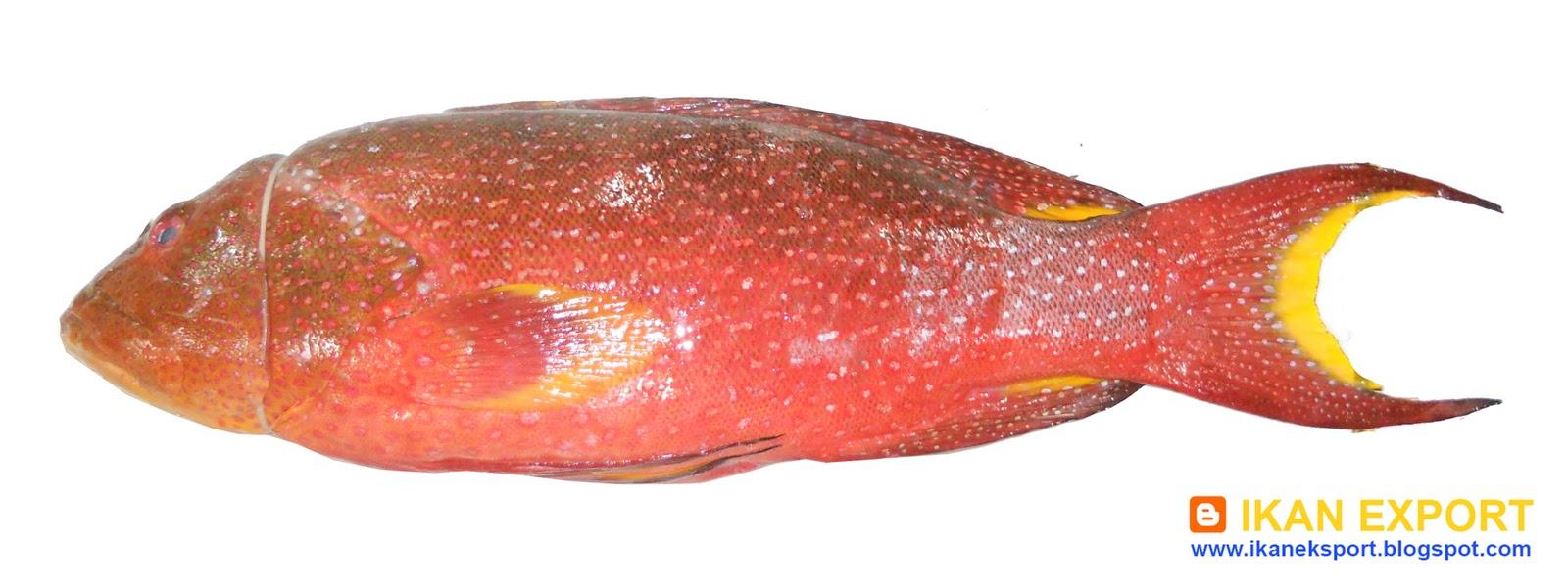 Ikan Eksport Ekor Gunting Up