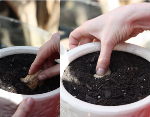 How To: Plant and Grow Ginger Root | 17 Apart