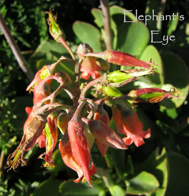 Cotyledon orbiculata flower
