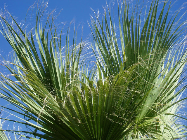 PALMERA DE CALIFORNIA:  Washingtonia filifera