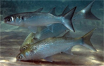 Sea Mullet