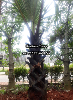 Palem Lontar Black Palm