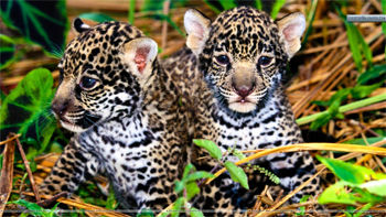 image of jaguar cubs in grass