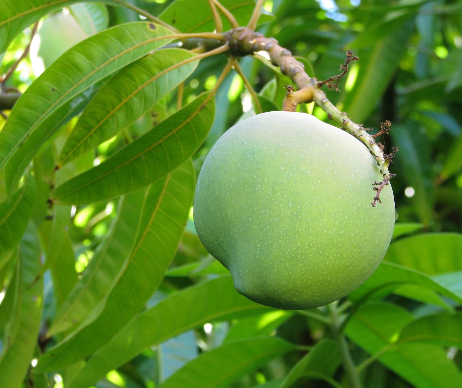 Coconut Mango: Dairy-free Mango + Coconut Ice Cream Recipe