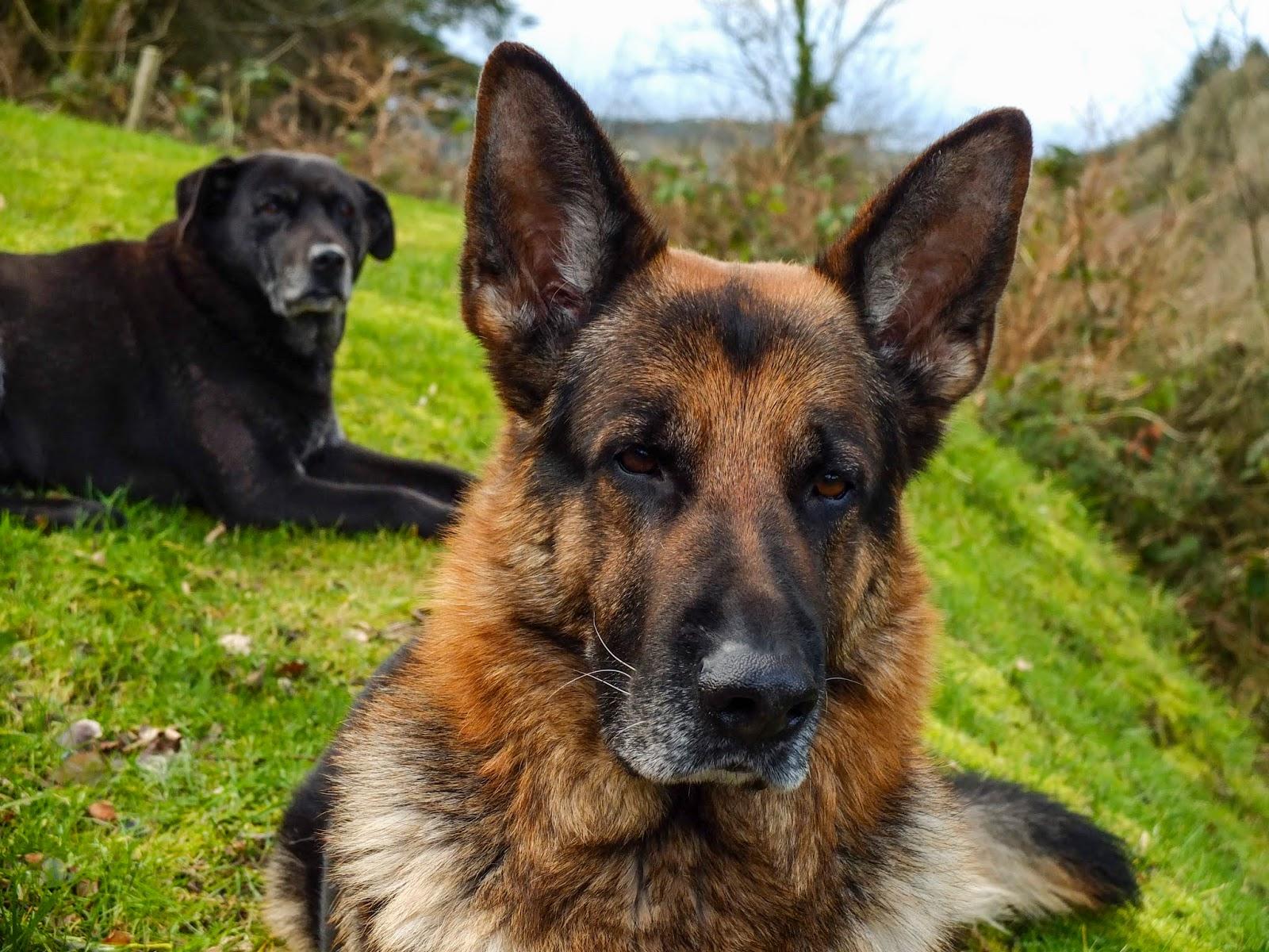 German Shepherd Steve with a black Labrador Judy lying down behind him.