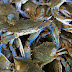 Kepiting Biru Tidak Menghormati
