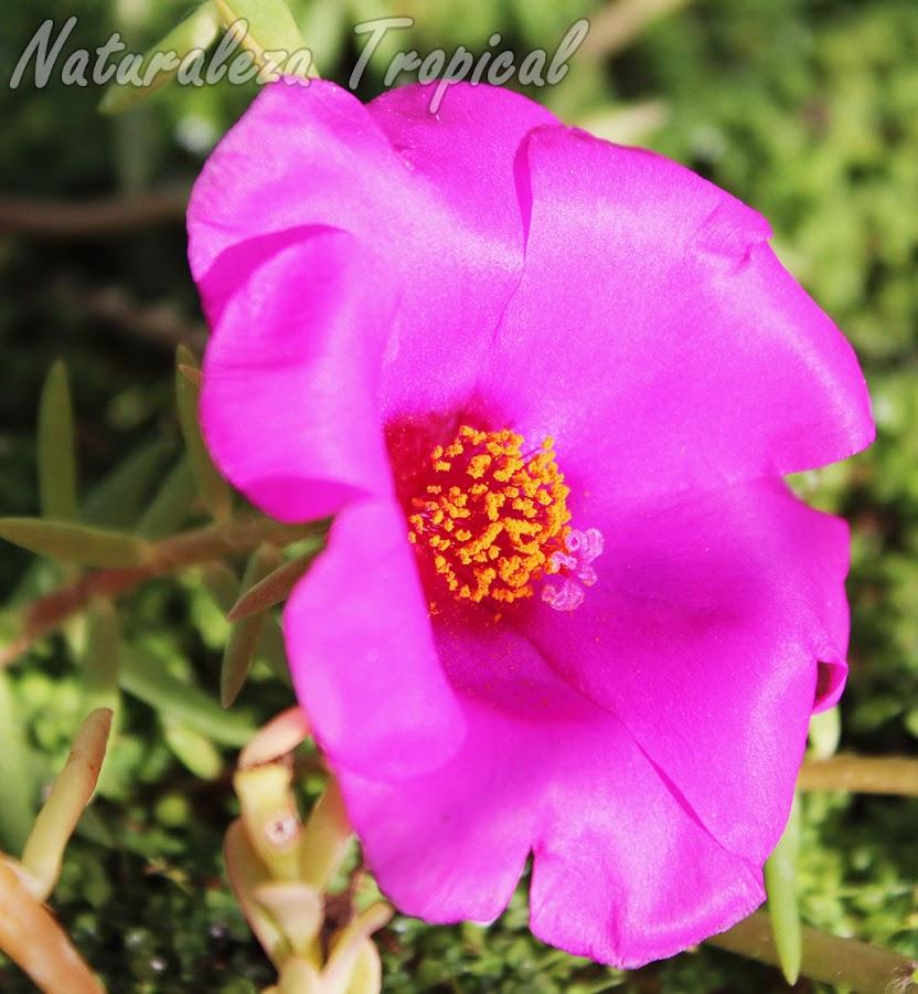 Variedad morada de la flor de la Verdolaga de Flor, Portulaca grandiflora