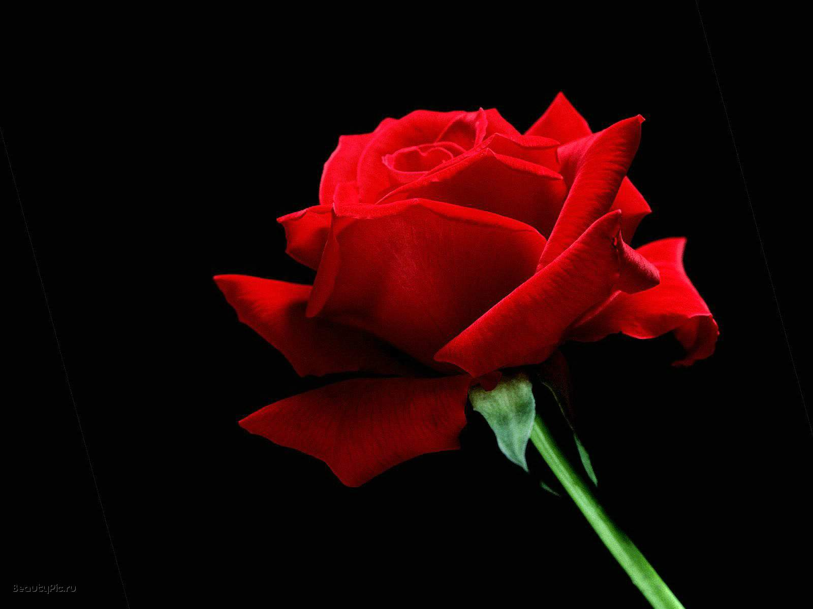 Black And White Wallpapers: Red Rose On Black Background