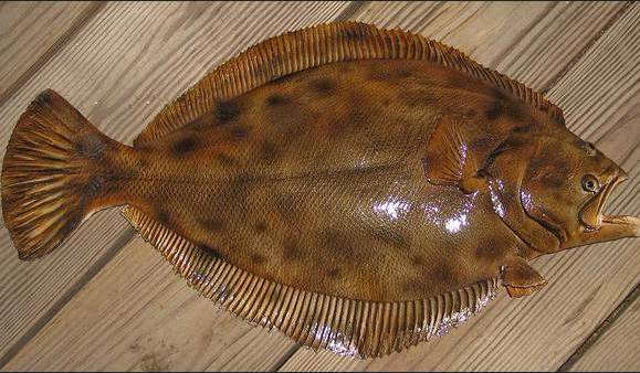 Animals That Start With F - Flounder