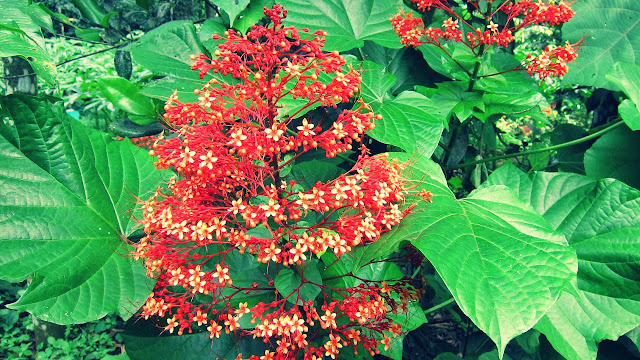 Clerodendrum Japonicum (Thunb) benefits