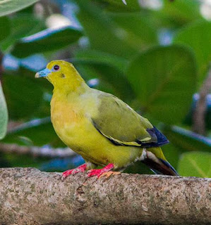 Pin-tailed green pigeon - Treron apicauda