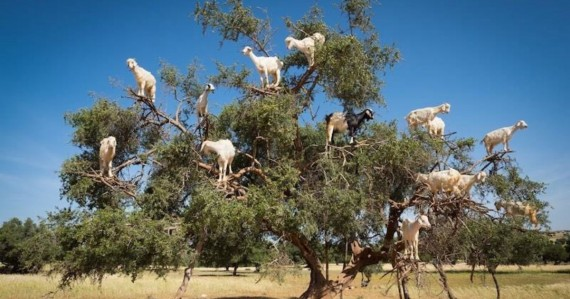 Kambing pemanjat pohon