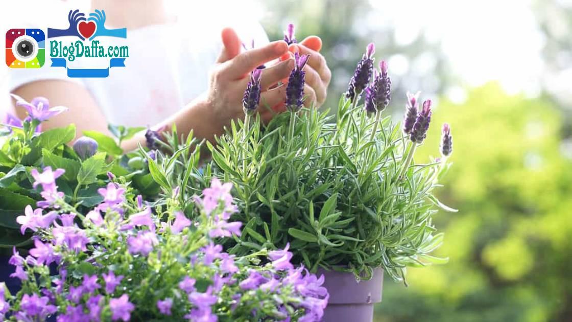 Bunga lavender tanaman pengusir nyamuk alami