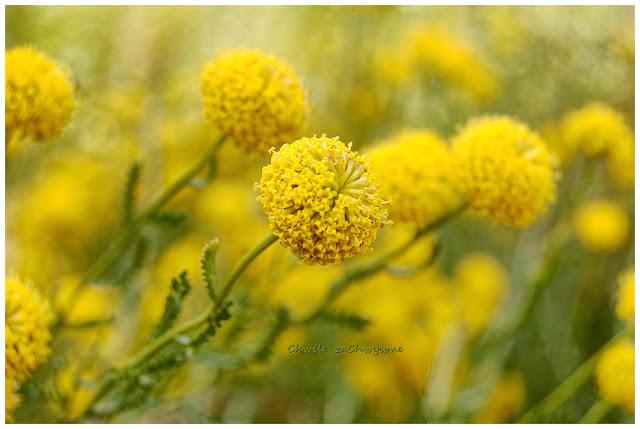 Santolina rozmarynolistna Santolina rosmarinifolia