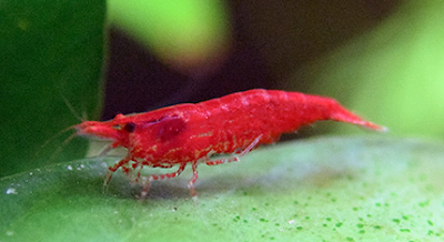 Kenali Udang Hias Red Cherry Shrimp Dan Cara Merawat Serta Budidayanya