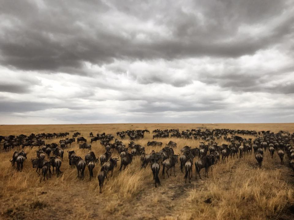 hundreds of wildebeest crossing the Mara river as they try to get to safety