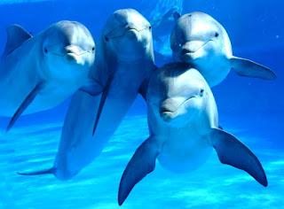 Captan la primera «conversación» entre delfines