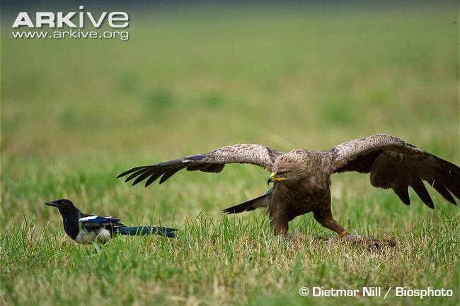 interactions between raptors and crows black billed magpie