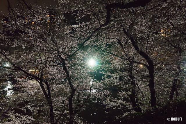 2017年・「北の丸公園」の夜桜