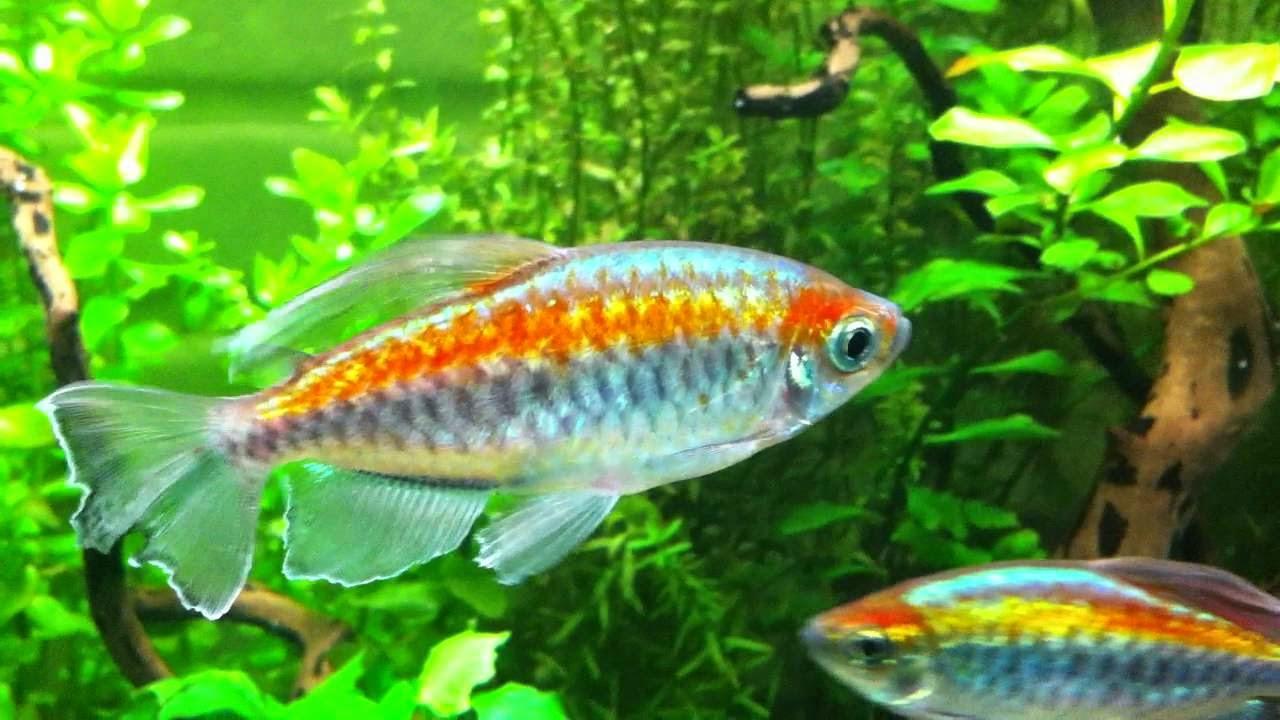 cá congo rất đẹp được nuôi trong hồ thủy sinh