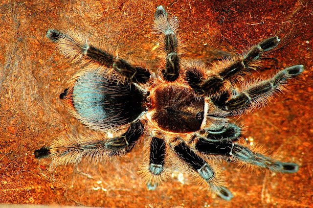 What is Red Knee Tarantula? Facts and information 5
