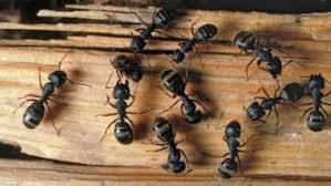 como combatir hormigas carpinteras