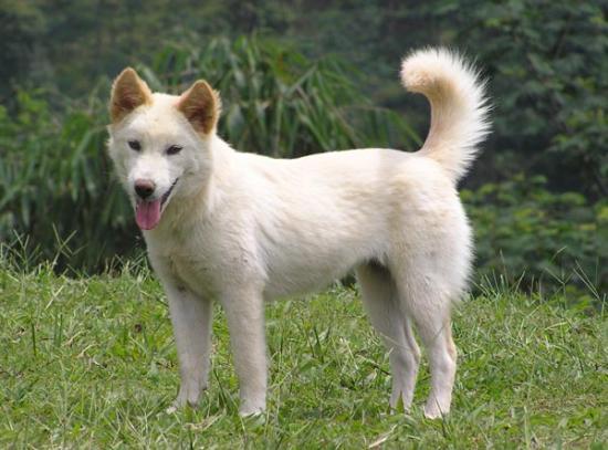 Anjing Kintamani