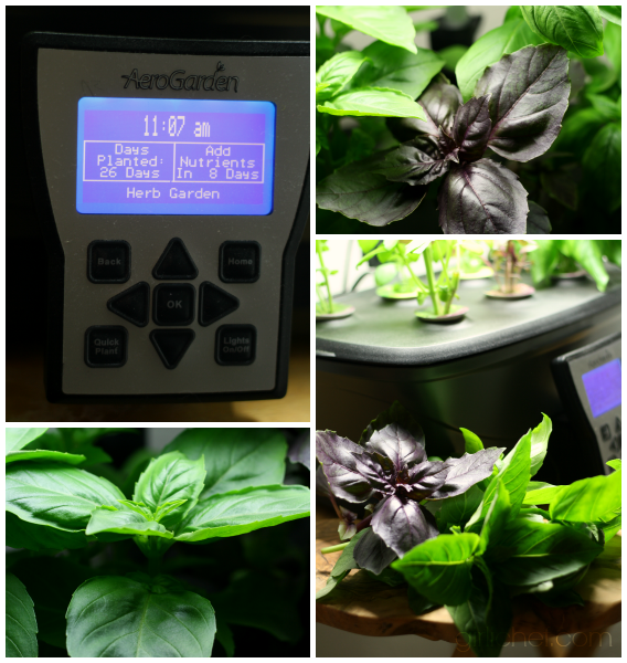 Basil in the Aerogarden after 26 days #FreshGifts at www.girlichef.com