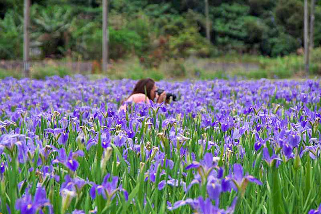 Woman photographer in iris field