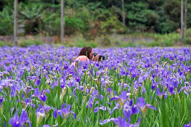 Woman photographer in iris field